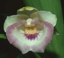 220px-Cochleanthes lobata.jpg