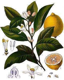 http://www.ecured.cu/images/7/76/Limon_medicinal.jpg