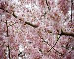 Week-cherry-tree-462211.jpg