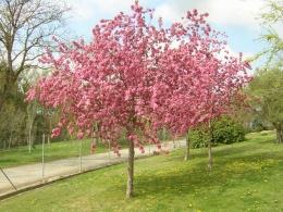 Manzano japon s ecured for Arboles florales para jardin