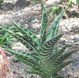 Aloe variegata ecured - Variedades de aloe vera ...