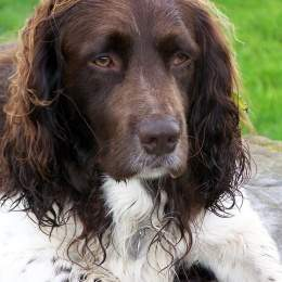 Fotos-springer-spaniel-ingles.jpg