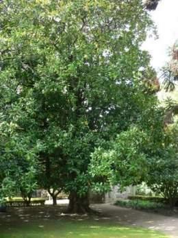 Magnolia grandiflora ecured - Cuidados del magnolio ...