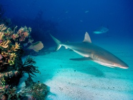 Grey reef sharks 1024x768-710925.jpeg