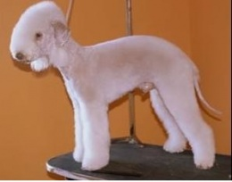 Bedlington Terrier.JPG
