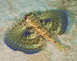 Flying-gurnard-on-sand-in-carribean-sea-karen-doody.jpg