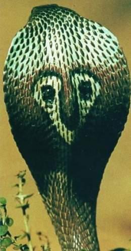 Cobra de anteojos - EcuRed