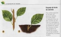 Esqueje ecured for Planta ornamental que se reproduzca por esquejes