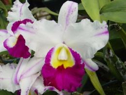 Orchidaceae ecured - Como cuidar orquideas en maceta ...