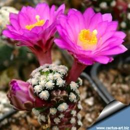 Mammillaria theresae early flowers 810.jpg
