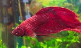 enfermedad del punto blanco en peces ecured