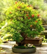 Bonsai de Punica granatum.