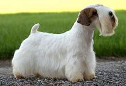 Sealyham-terrier-dog.jpg