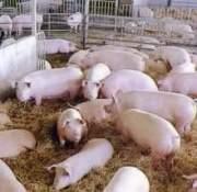 Cría de cerdos