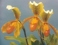 5f7868994d6 Orquídea Zapatilla de dama - EcuRed