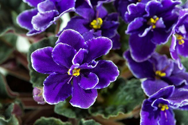 Violeta (Flor) - EcuRed