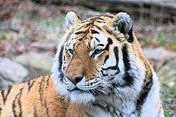 250px-Royal Bengal Tiger.jpg