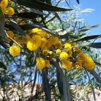 Acacia Saligna Ecured