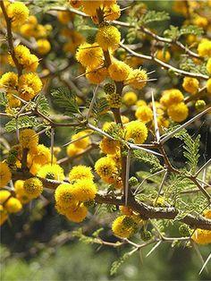 Acacia Aroma Ecured