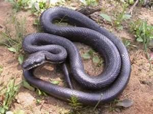 Serpiente Rata Negra - EcuRed