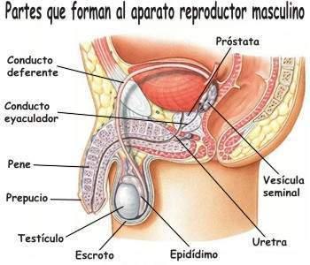 Sistema Reproductor Masculino Ecured