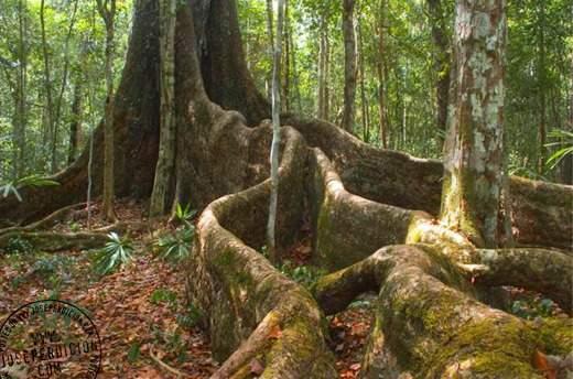 Caoba africana - EcuRed