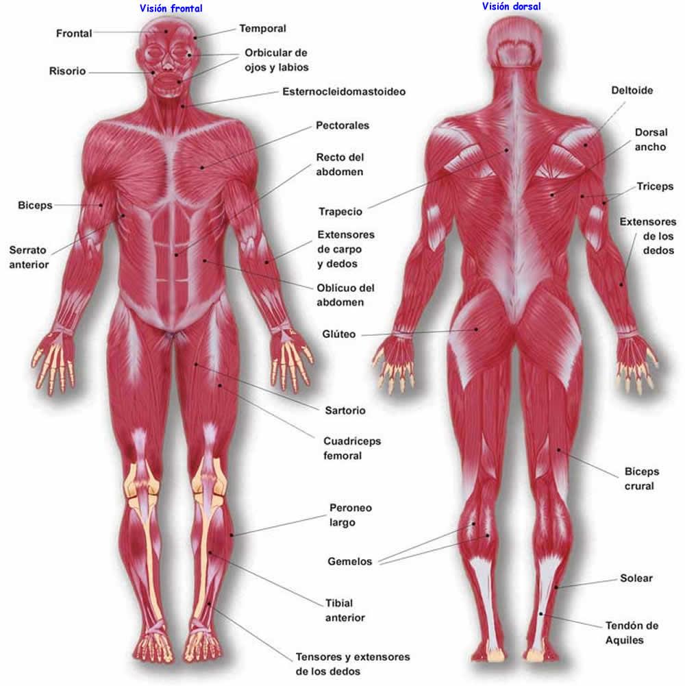 Músculos Ecured