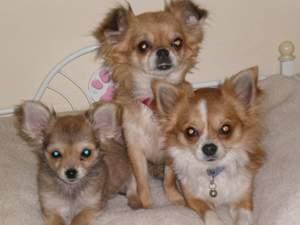 Chihuahua Raza De Perro Ecured