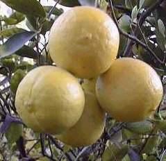 Fruta lima dulce propiedades