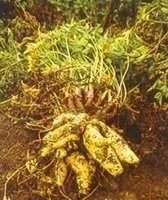 Zanahoria Blanca O Arracacha Ecured Descripción de la planta:planta bienal que forma una roseta de hojas en primavera y verano. zanahoria blanca o arracacha ecured