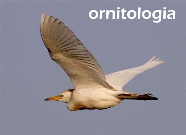 Ornitología Ecured