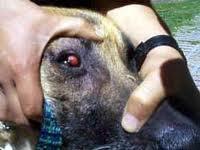 Tumor Venereo Transmisible En Perros Pdf
