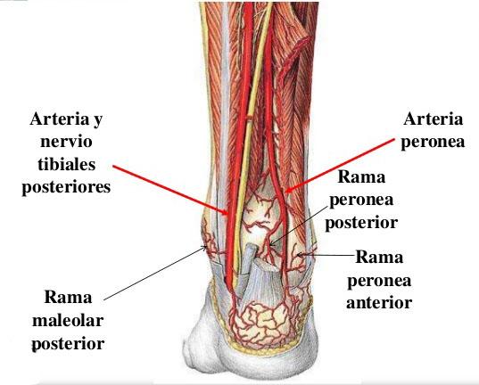 Venas y arterias del tobillo