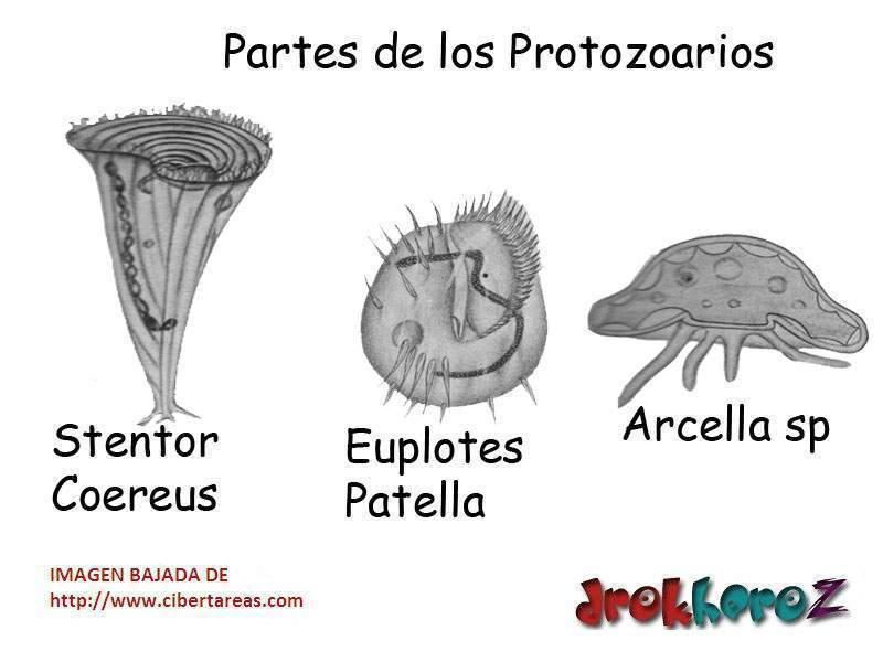 Protozoología Ecured