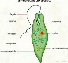 Euglena Ecured