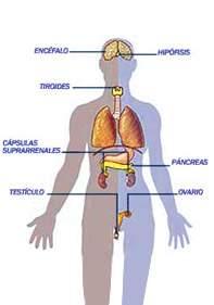 Que funcion tiene el pancreas en el sistema endocrino