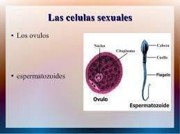 Células Sexuales Ecured