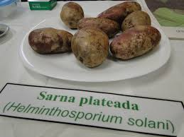 helminthosporium solani papa