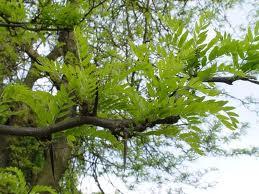 Acacia Negra Ecured