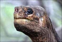 Tortuga Gigante de la Isla Pinta  EcuRed