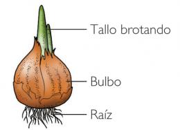 Reproduccion asexual de las plantas por bulbos de cebolla