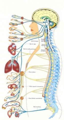 Sistema Nervioso Autónomo - EcuRed