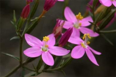 centaurium quadrifolium2.jpg