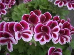 Geranio (planta)   EcuRed