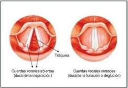 las cuerdas vocales encargadas de la fonación se encuentran en