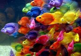Peces De Colores Ecured