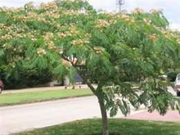 Acacia rbol ecured for Arboles ornamentales hoja perenne para jardin