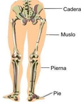 Como se llama el hueso entre la cadera y la pierna