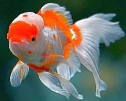 Goldfish oranda ecured for Enfermedades de peces goldfish