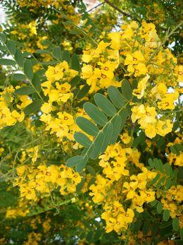 Acacia Amarilla Ecured